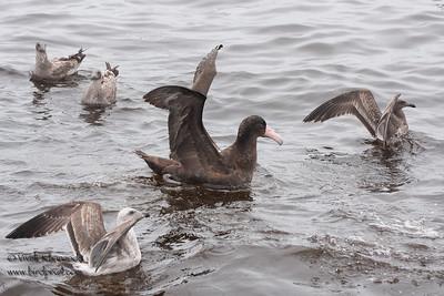 Short-tailed Albatross - Half Moon Bay, CA, USA