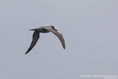 Sooty Albatross - Drake's Passage, Southern Ocean