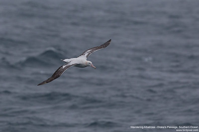 Wandering Albatross - Drake's Passage, Southern Ocean