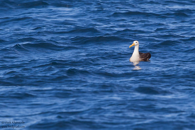 Waved Albatross - near Isla Floreana, Galapagos, Ecuador