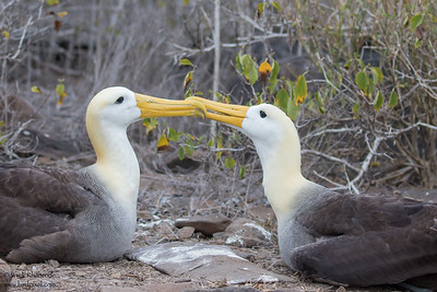 Waved Albatross - Galapagos, Ecuador