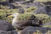 Waved Albatross - Galapagos, Ecuador