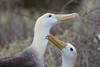 Waved Albatrosses - Galapagos, Ecuador