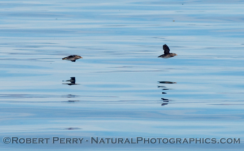 Two Rhinoceros auklets (Cerorhinca monocerata) in flight over glassy water.