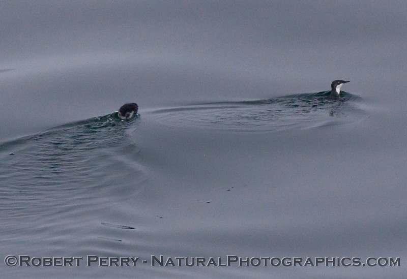 Two Xantus's murrelets (Synthliboramphus hypoleucus) - father and chick.