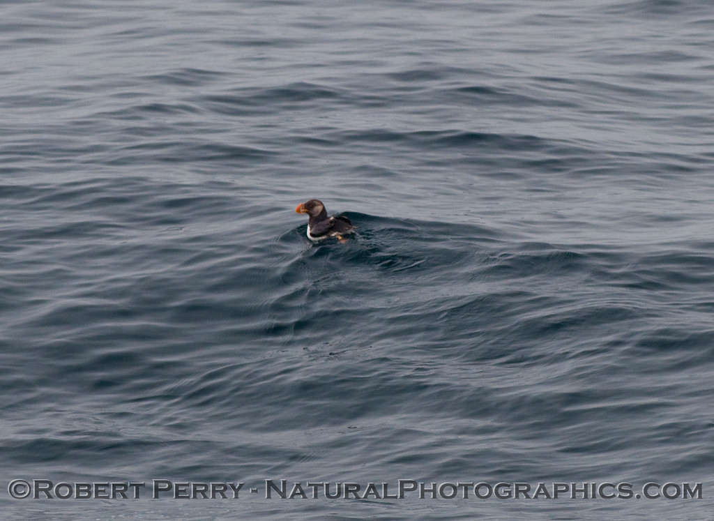 Horned puffin (Fratercula corniculata) -  a lone sub-adult on the water.