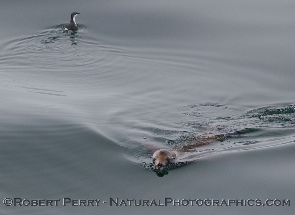 Xantus's murrelet (synthliboramphus hypoleucus) and California Sea Lion (Zalophus californianus).