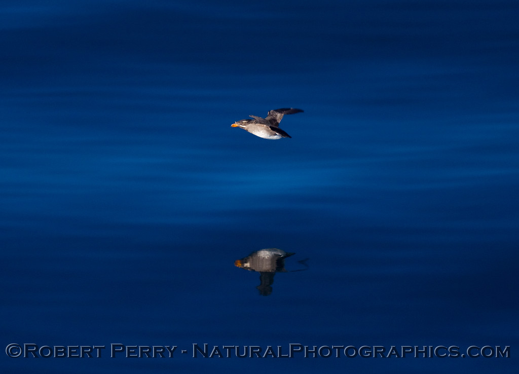 Two Rhinoceros auklets (Cerorhinca monocerata) - one real, one reflected.