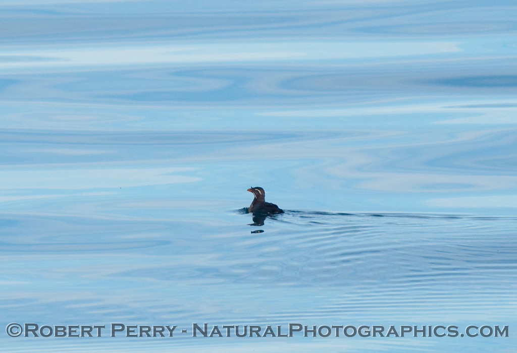 Lone Rhinoceros auklet (Cerorhinca monocerata) swimming on the surface.