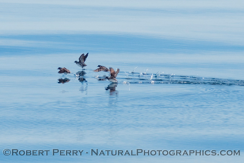 A group of Cassin's auklets (Ptychoramphus aleuticus) taking off.