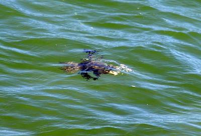 Swimming  Imperial Beach Pier, Imperial Beach, San Diego County, CA 12/010/2010