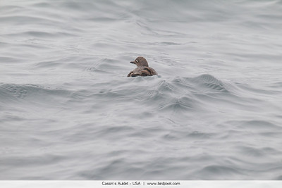 Cassin's Auklet - USA