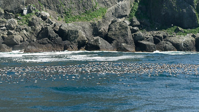 Rafts of Common Murres - Seward, Alaska, USA