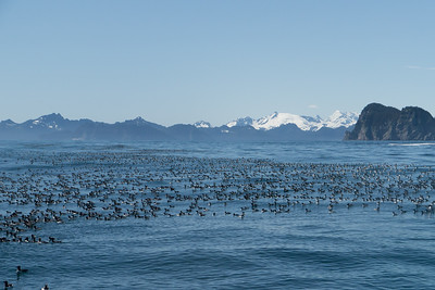 Common Murres - Seward, Alaska, USA