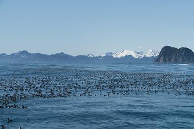 Common Murres - Seward, Alaska, USA