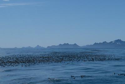 More Common Murres - Seward, Alaska, USA