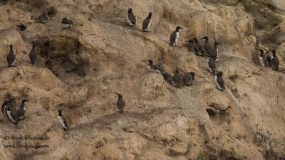Common Murres nesting - Farallon National Wildlife Refuge, CA, USA