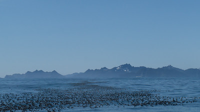 The endless wave of Common Murres - Seward, Alaska, USA