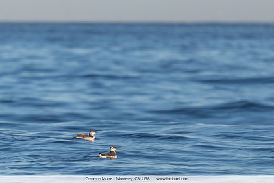 Common Murre - Monterey, CA, USA