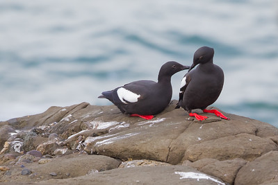 Pigeon Guillemot - Pigeon Point Lighthouse, CA, USA