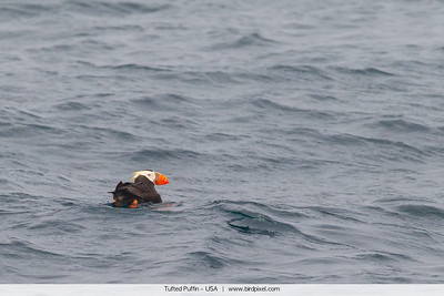 Tufted Puffin - USA