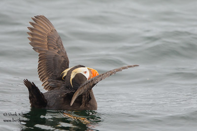 Tufted Puffin -  Farallon National Wildlife Reguge,  CA, USA