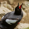 Pigeon Guillemot. Sea Lion Caves, Florence, Oregon