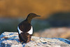 Black Guillemot<br /> Eastern Egg Rock, ME
