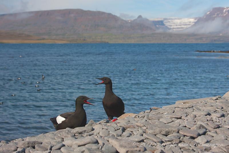 Black Guillemots<br /> Vigur, Iceland