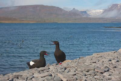 Black Guillemots Vigur, Iceland