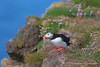 Atlantic Puffin<br /> Látrabjarg, Iceland