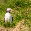 Atlantic Puffin, Witless Bay Ecological Reserve, Newfoundland