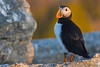 Atlantic Puffin<br /> Eastern Egg Rock, ME
