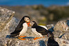 Atlantic Puffins<br /> Eastern Egg Rock, ME