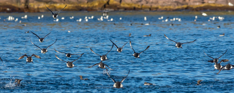 Common Murres, Witless Bay Ecological Reserve, Newfoundland