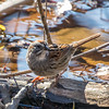 Swamp Sparrow - Greenbrook NJ, April 2017