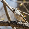 Tufted titmouse - Greenbrook, April 2017
