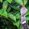 Brown Jay (juvenile)