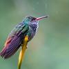 Rufous-tailed Hummingbird  - Lodge at Pico Bonito, Honduras, Feb 2016