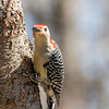 Red-bellied woodpecker - Greenbrook, April 2017