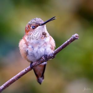 Allens Hummingbird