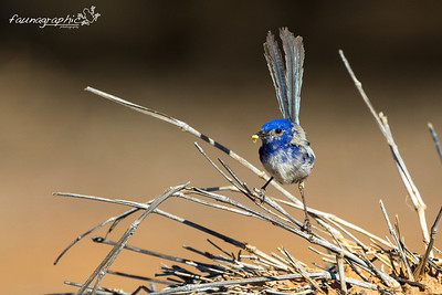 White Winged Fairywren
