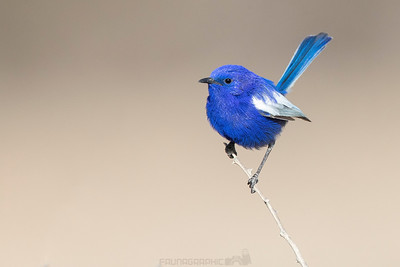 White-winged Fairywren