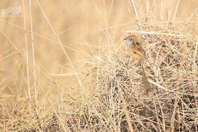 Rufous-crowned Emu-wren