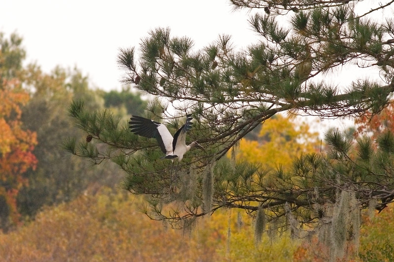 "Woodstork In Fall Colors on a cloudy afternoon<br /> <br /> Daily Selection for Friday (Two Little Birds):<br /> <br />  <a href=""http://upacreekphotography.smugmug.com/gallery/1842481/1/110712006/Large"">http://upacreekphotography.smugmug.com/gallery/1842481/1/110712006/Large</a>"