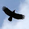 American Crow<br /> 24 MAR 2011