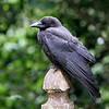 American Crow<br /> 08 JUL 2011
