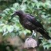 American Crow<br /> 06 AUG 2010