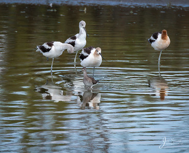 American Avocet and Greater Yellowlegs