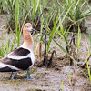 American Avocet with six legs: two babies are hiding behind her!